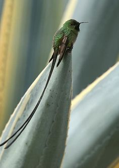 The Black-tailed Trainbearer (Lesbia victoriae) is a species of hummingbird in the Trochilidae family found in Colombia, Ecuador, and Peru. by ViolaBlackRaven