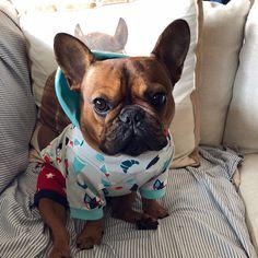Dunkin, the adorable French Bulldog