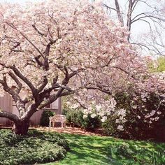 Saucer magnolia (Magnolia soulangeana) (or galaxy magnolia) - grows up to 30 feet tall, pale pink flowers early in spring. Zone 5-9, medium growth rate