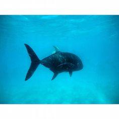 Black GT up in the great barrier reef #gopro #goprohero4 #goprophotography #canon #canonaustralia #australia #QLD #queensland #greatbarrierreef #reef #explore #exploreaustralia #adventure #snorkeling #freediving #fish #fisharefriendsnotfood #blackgt #travally #bigfish #ocean #oceanlife by timscruse http://ift.tt/1UokkV2