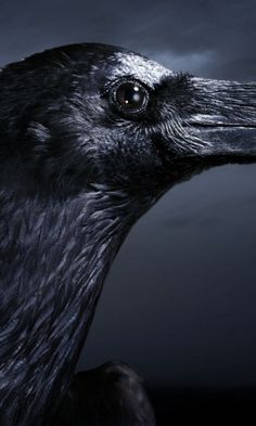 480x800 605117618oWallpaper raven, bird, flying, smoke, blackz white