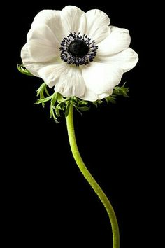 White Anemone Flower, Red Anemone, White Flowers, Ranunculus, Peonies, Japanese Anemone, Flower Meanings, Blooming Plants, Clematis