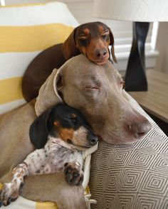 Indiana (top - miniature dachshund), Harlow (middle - Weimaraner) and baby Reese (bottom - miniature dachshund) by greta Weenie Dogs, Dachshund Puppies, Dachshund Love, Cute Puppies, Cute Dogs, Dogs And Puppies, Daschund, Dapple Dachshund, Chihuahua Dogs