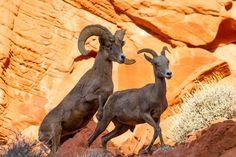 Arousing Behavior    Desert Big Horn Sheep  Valley Of Fire State Park Overton, Nevada