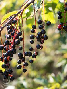 """Dzień dobry, Dzisiaj zapraszam Was na kolejny post z cyklu """"Skarby babiego lata"""". No dobrze, nie ma takiego cyklu w Ziołowym Zakątku, ale przecież mógłby być! Dzisiaj będziemy rozmawiać sobi... Natural Garden, Slow Food, Healing Herbs, Geraniums, Herbal Remedies, Preserves, Herbalism, Health Fitness, Fruit"""