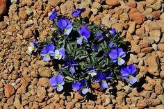 Violeta del Teide