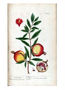 Botanical - A curious herbal - Fruit - Granata Punica mala (Pomgranates) p145