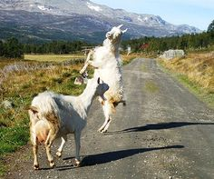Valdres goats