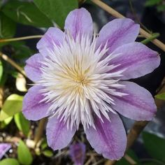 Clematis Evipo011 | Empress™ Clematis | Large double flowers that have pink petals with darker pink center bars. The inner petals look as if as if a frilly pompon had been set on top of the large lower petals | Height: 4-6 ft | Width: 3-4 ft | Soil Conditions: Moist/Well Drained |   Flower Color: Pink | Bloom Time: May-October | Hardiness Zone: 4 TO 9 | full sun | MWG