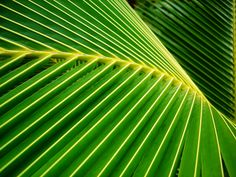 Big Green Palm Fronds