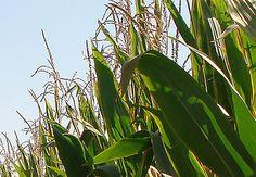 El estudio ha usado un modelo para evaluar el valor económico y ambiental de los cultivos transgénicos, centrándose lo que supondría la sustitución del maíz, soja y algodón transgénico por variedades convencionales en todo el mundo. Por: Alfredo L. Z