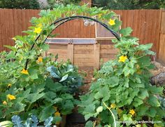 Squash arch covered by squash ~ how to build between two raised beds. Cool. I bet this would work great to connect 2 half wine barrels filled with squash.