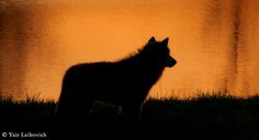 sunset wolf by yair_leibovich on 500px