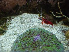 http://faaxaal.forumgratuit.ca/t1971-photos-de-crustaces-crevette-de-feu-lysmata-debelius-fire-shrimp