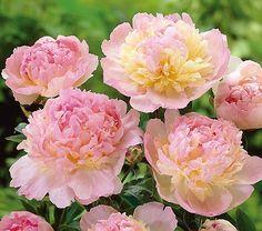 PAEONIA lactiflora 'Raspberry Sundae' - Silkepæon, farve: rosa/gul, lysforhold: sol, højde: 80 cm, blomstring: juni - september.