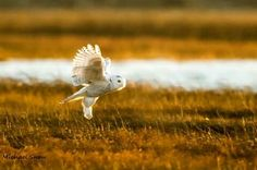 Facebook owlpage. Snowy owl hunting for dinner in Duxburry, Massachusetts, USA