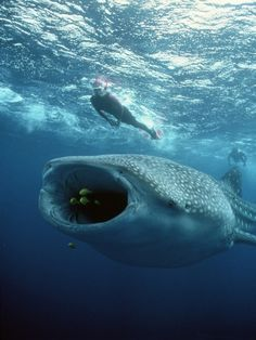 Whale shark and divers at Ningaloo Reef, Western Australia. Photo by Tom Campbell. I just love these beautiful, gentle creatures.