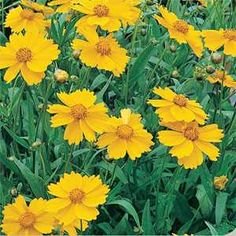 Lanceleaf Coreopsis, also called Tickseed Coreopsis, grows from flower seed that can be started directly outdoors. Coreopsis seeds should be lightly covered with soil. Yellow Perennials, Flowers Perennials, Coreopsis Flower, August Flowers, Wildflower Seeds, Blooming Plants, Fall Plants, Wild Flowers, Yellow Flowers