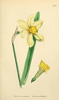 153364 Narcissus incomparabilis Miller / English botany, or coloured figures of British plants, ed. 3 [B] [J.E. Sowerby et al], vol. 9: t. 1502 (1869)