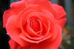 reddish pink rose