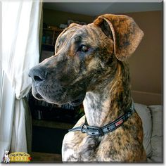 This is Loki, our brindle Great Dane pup, he's just nine months old. Loki is jumpy, like, he can jump two feet (at least) straight up in the air. He also will jump up, put his paws up on your shoulders and hug you. He's seriously the cutest little thing! (Figuratively speaking :D)!      We just got him because our other Dane died, and the house was just not the same. He is still growing, but he thinks he is just a little lap dog in his own mind!