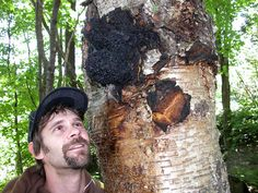 "A fungal parasite found on birch trees, Chaga is a hardened, blackened, crusty formation that looks like a bursting tumor. While this strange-looking mushroom has been called a ""tree cancer"" since it will eventually kill its host tree, it has attracted interest for centuries in fighting human cancer and other diseases."