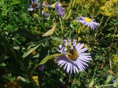 little bee on aster flower