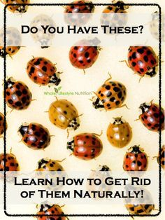 Top 10 Natural Ways To Get Rid of Ladybugs AKA Asian Lady Beetles - Whole Lifestyle Nutrition | Organic Recipes & Holistic Recipes