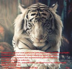 Those with the tiger spirit often have a will power and passion for life that is unrevaled. People with the tiger spirit tend to be confident, loving and wise. Beautiful Cats, Animals Beautiful, Beautiful Pictures, Animals And Pets, Cute Animals, Animals Photos, Fierce Animals, Wild Animals, Baby Animals