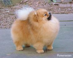 Delightful Comical And Sweet Pomeranian Ideas. Charming Comical And Sweet Pomeranian Ideas. Animals And Pets, Baby Animals, Funny Animals, Cute Animals, Cute Puppies, Dogs And Puppies, Cute Dogs, Doggies, Pet Care