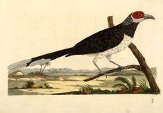 johann reinhold forster | indian zoology johann reinhold forster 1790 scan of 2 d image in the ...