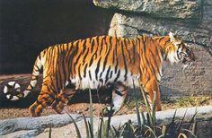 Possible photograph of an extinct Caspian tiger at a European zoo.