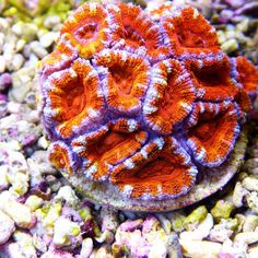 Acanthastrea lordhowensis Rainbow M 18+ Polyps - Colorals