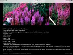 Partial Shade Flowers, Alchemilla Mollis, Japanese Anemone, Purple Candles, Astilbe, Common Names, Light Shades, Colorful Flowers, Bloom