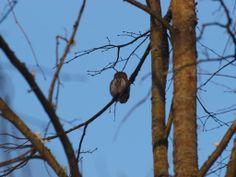 pygmy owl in Strict Reserve of Białowieża National Park; Białowieża Biodiversity Academy www.WEJMUTKA.pl
