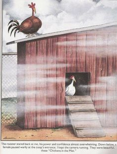 this is copyright gary larson, the man who made The Far Side comics. Chickens in the Mist Far Side Cartoons, Far Side Comics, Funny Cartoons, Gary Larson Far Side, Cute Chicken Coops, Gary Larson Cartoons, Farm Humor, Building A Chicken Coop, The Far Side