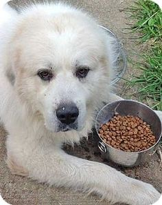 8/24/14 STILL LISTED***Beacon, NY - Great Pyrenees. Meet Geyser - new!, a dog for adoption. http://www.adoptapet.com/pet/11419752-beacon-new-york-great-pyrenees