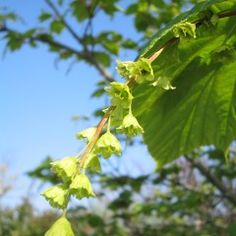 Acer capillipes - Streepjesbast esdoorn
