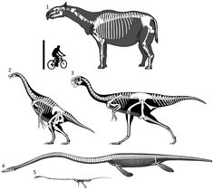 Full skeletal reconstructions of selected long-necked non-sauropods, to scale.  1, Paraceratherium. 2, Therizinosaurus. 3, Gigantoraptor. 4, Elasmosaurus. 5, Tanystropheus. Elasmosaurus modified from Cope (1870, plate II, figure 1). Other image sources as for Fig. 1. Scale bar = 2 m    peerj.com/articles/36/