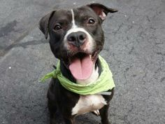 TO BE DESTROYED - WEDNESDAY - 5/21/14, Manhattan Center -P  My name is RALPH. My Animal ID # is A0999497. I am a male gray and white pit bull mix. The shelter thinks I am about 2 YEARS   I came in the shelter as a STRAY on 05/12/2014 from NY 10454, owner surrender reason stated was STRAY.