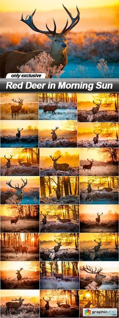 Red Deer in Morning Sun  25 UHQ JPEG  stock images