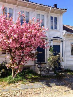 Flowering in Skippergata, Posebyen in Kristiansand, Norway. Photo: E. Høibo, Visit South Coast