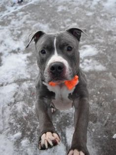 ●1•19•17 STILL THERE●Brooklyn Center HAN SOLO – A1101059 ***SAFER : AVERAGE HOME*** MALE, GRAY / WHITE, AMERICAN STAFF MIX, 1 yr SEIZED – ONHOLDHERE, HOLD FOR ARRESTED Reason SEARCH WAR Intake condition UNSPECIFIE Intake Date 01/05/2017, From NY 11212, DueOut Date 01/12/2017, I came in with Group/Litter #K17-085667