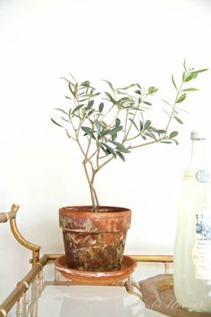The 6 Essentials to Caring For a Potted Olive Tree