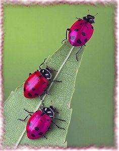 PINK ladybugs!! AMAZING!!