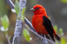 Scarlet Tanager - E. North America