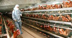 FINALLY! The FDA Admits That Nearly Over 70% Of The Chickens Contain THIS Cancer-Causing Chemicals!