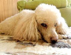 Vivete - Lavinia's Standard Poodle