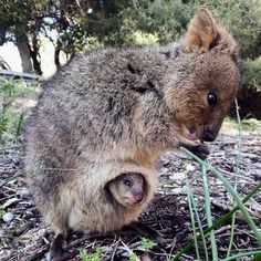 Quokka and her baby