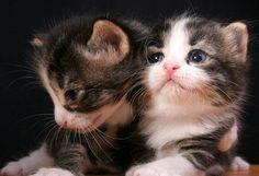 oreo's kittens multiple kittens tabby kitten